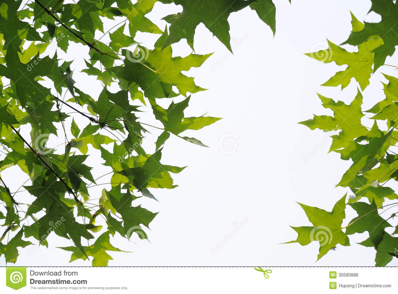 Fresh plane trees leaves