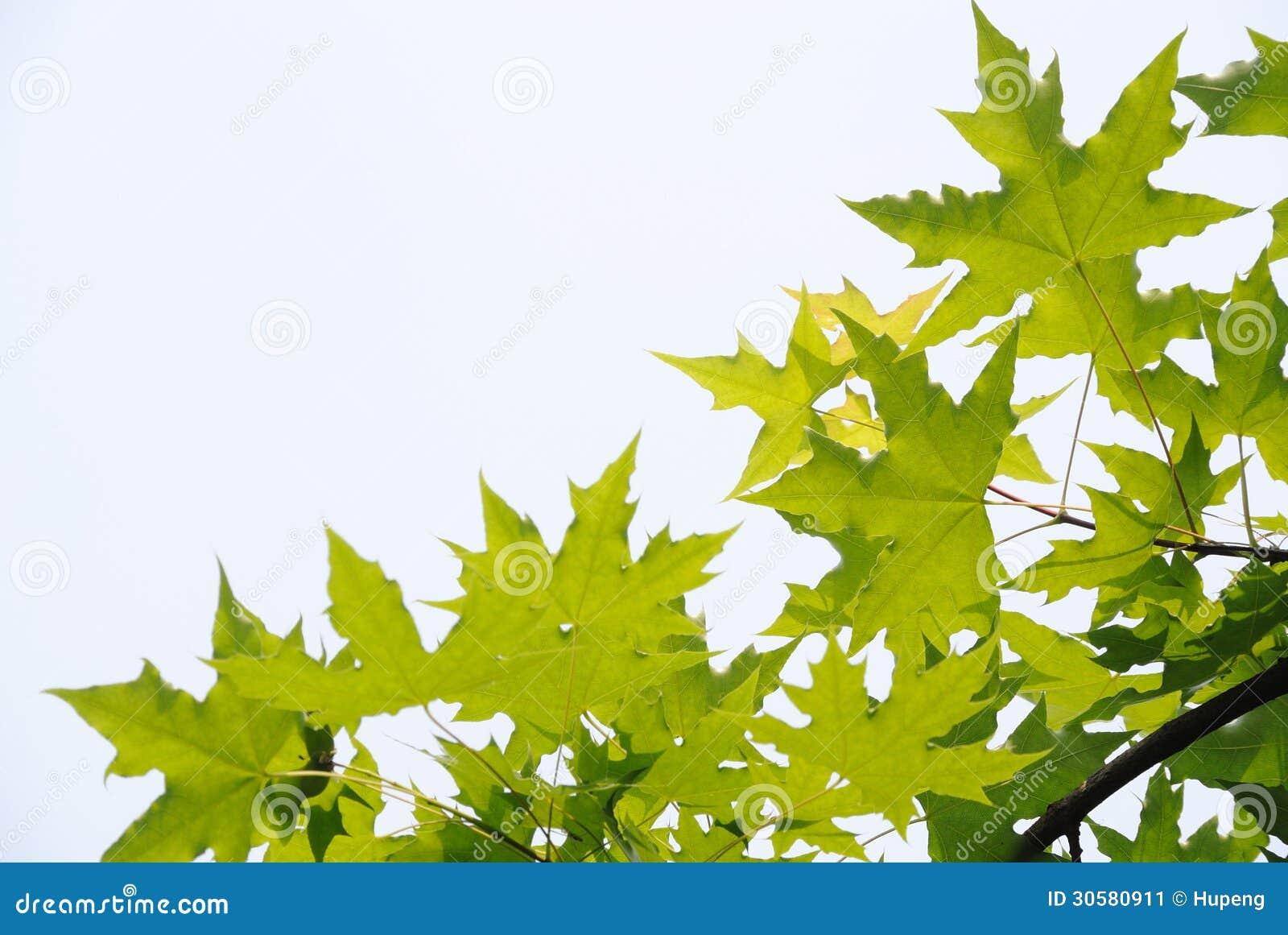 Fresh plane trees leaves