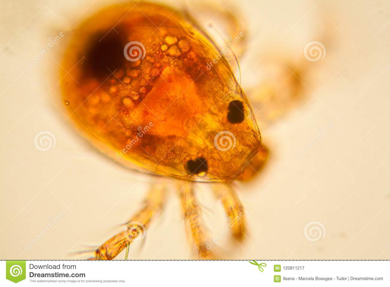 Pond water plankton and algae at the microscope. Pond mite