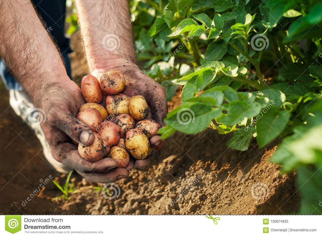 Fresh Potato In Farmer Hands Stock Image - Image of country ...