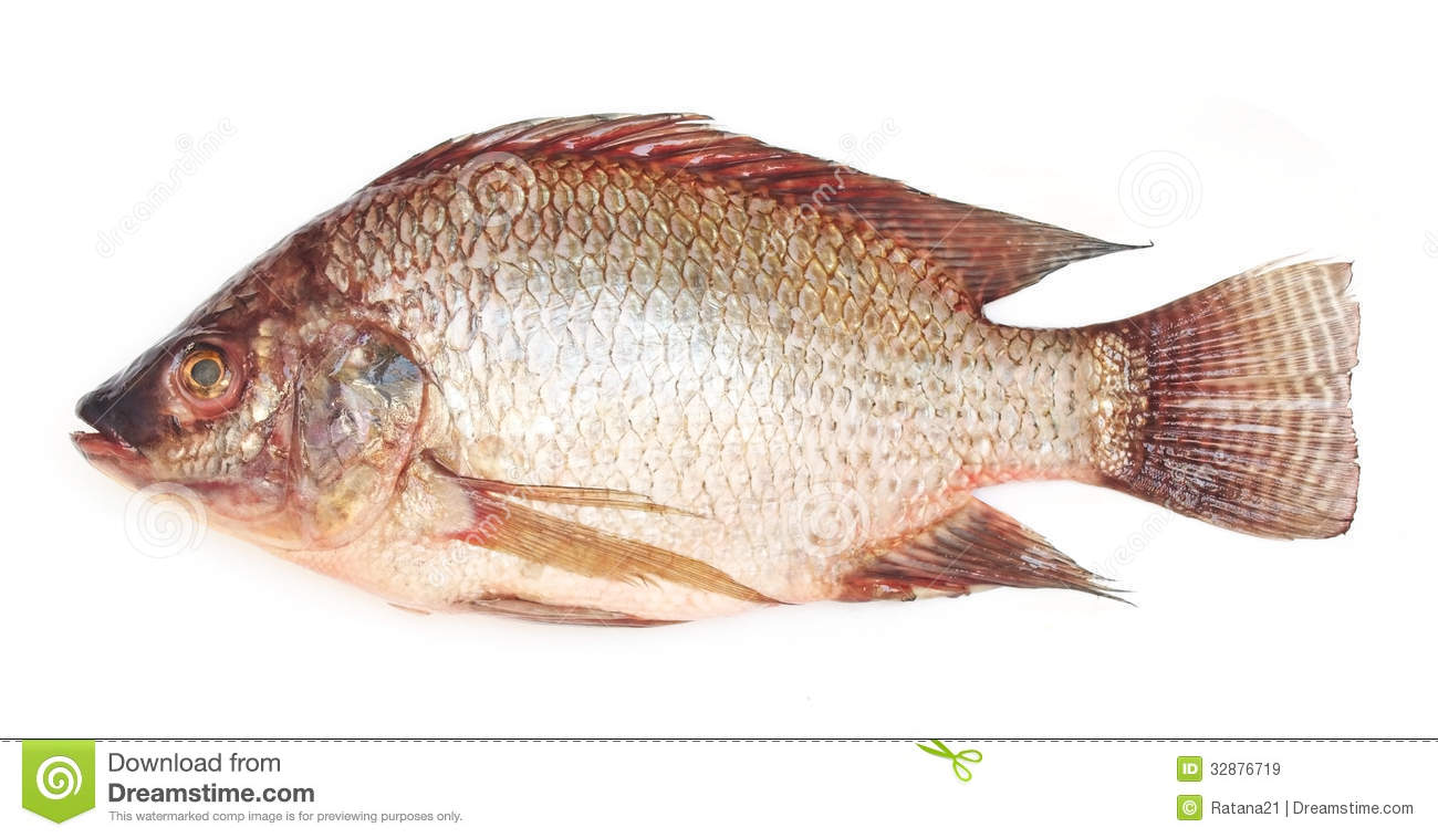 The gallery for undercooked tilapia for Is tilapia a fish