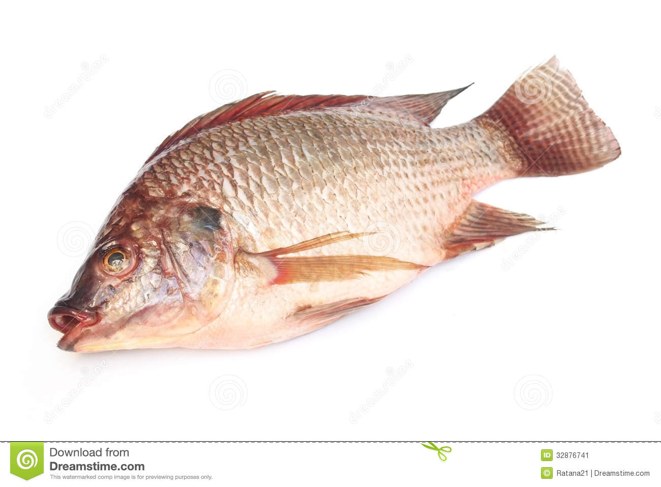 Fresh raw tilapia fish stock image image of tilapia for What type of fish is tilapia