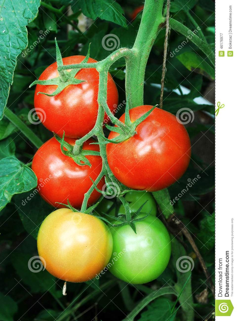 Fresh Red Tomatoes In The Greenhouse Stock Photo - Image ...
