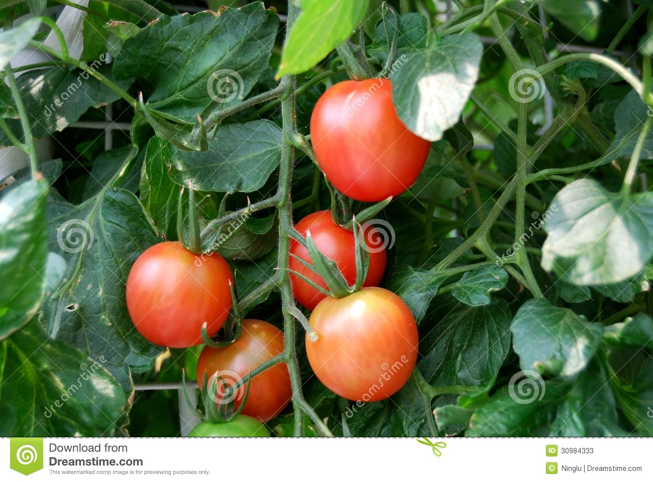 Fresh Red Tomatoes On The Plant Stock Photos - Image: 30984333