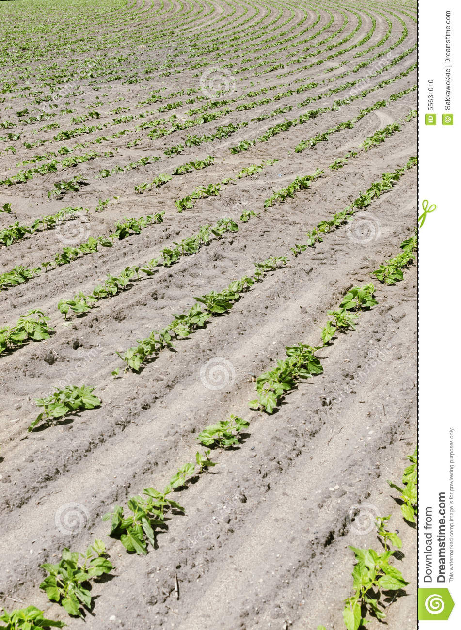 Fresh Rows Of Bean Crops Outside In Midwest, United States ...