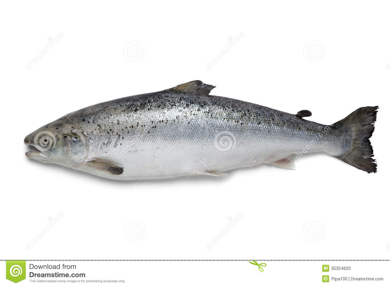 Fresh salmon fish stock photo image of salmon studio for Salmon fish pictures