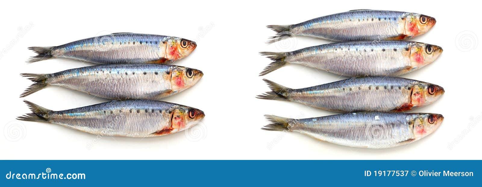 Fresh sardine fish
