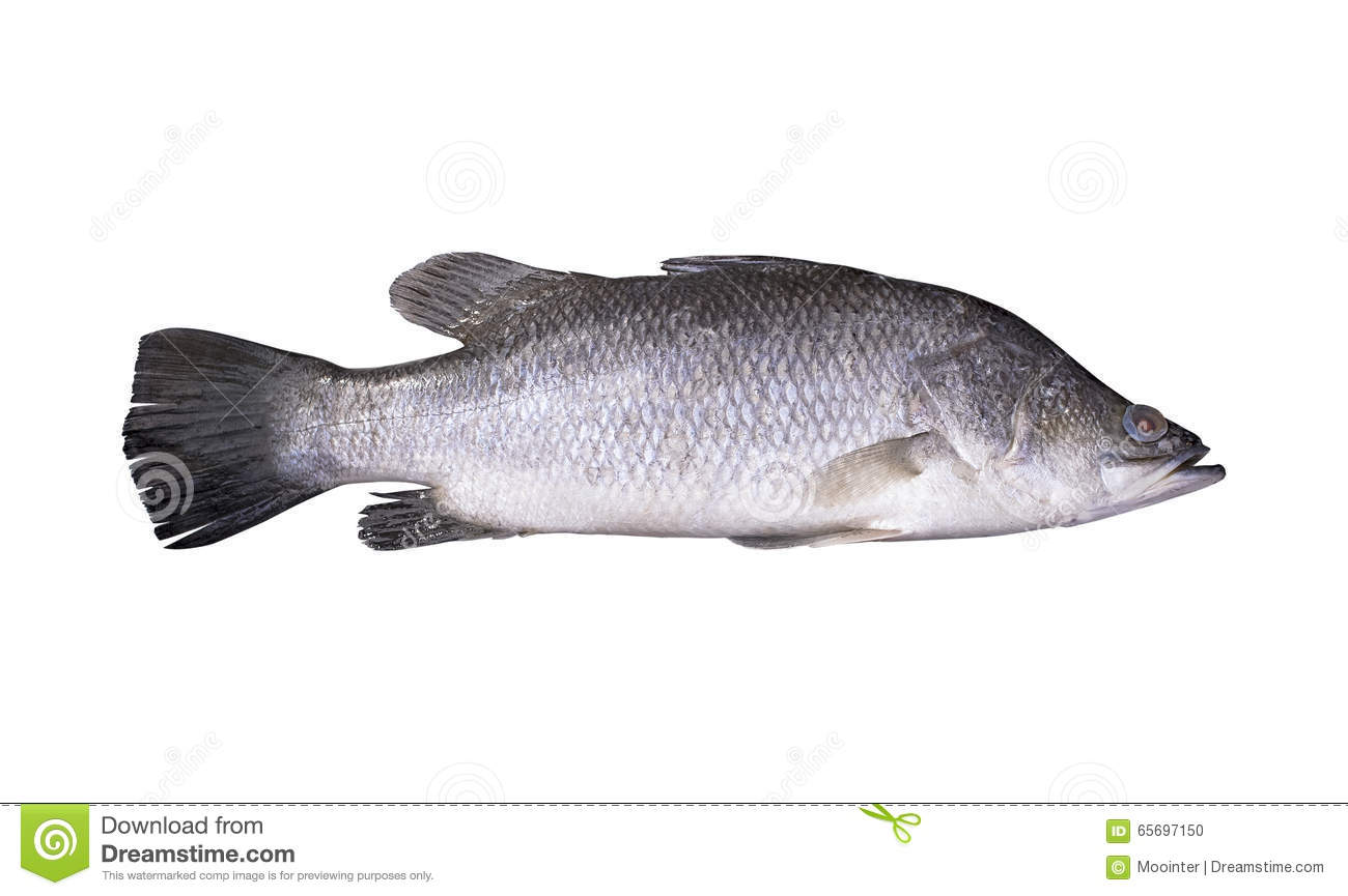 Image gallery seaperch fish for Perch fish facts