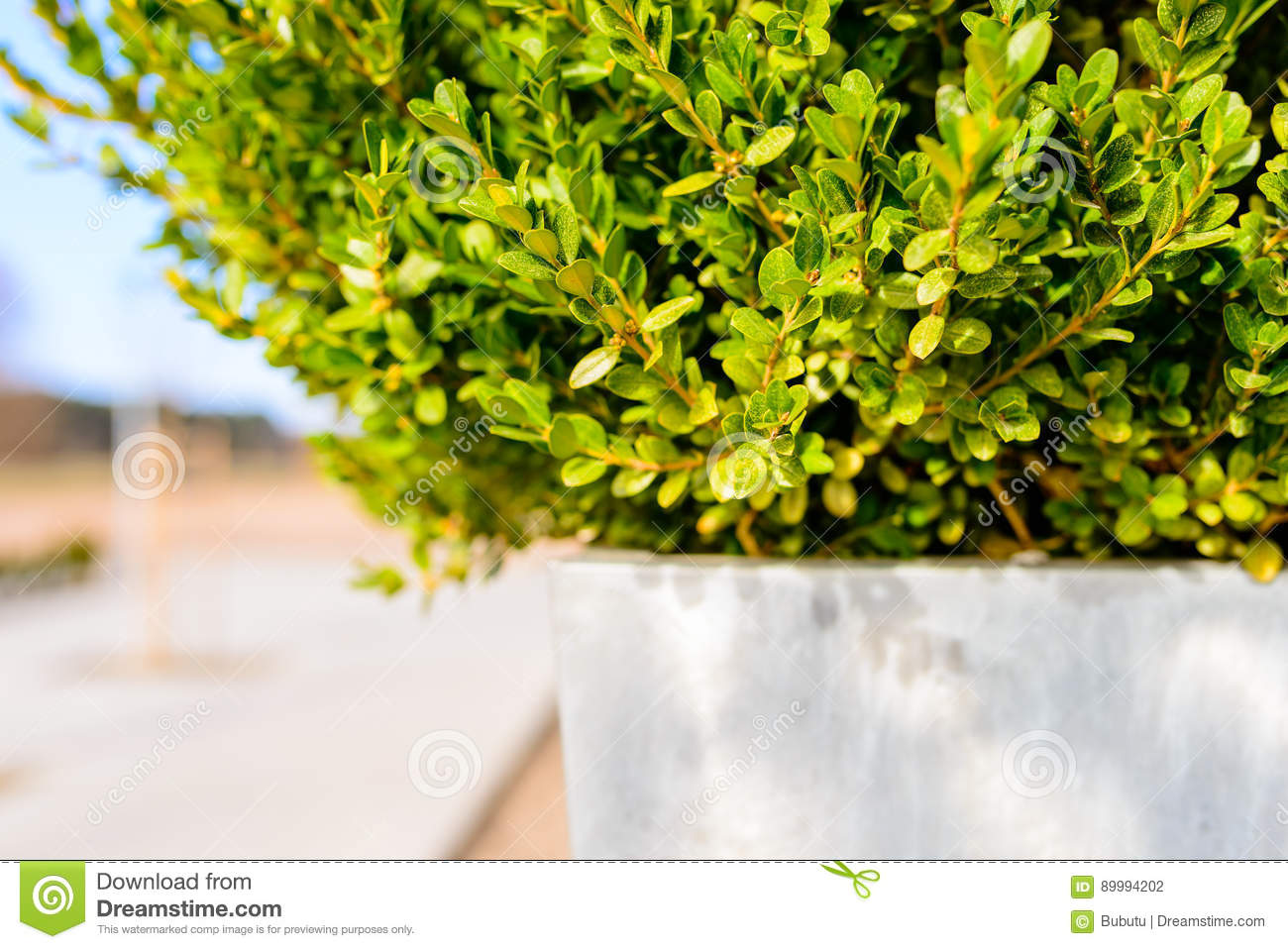 Boxwood Pot Stock Photos - Royalty Free Pictures on