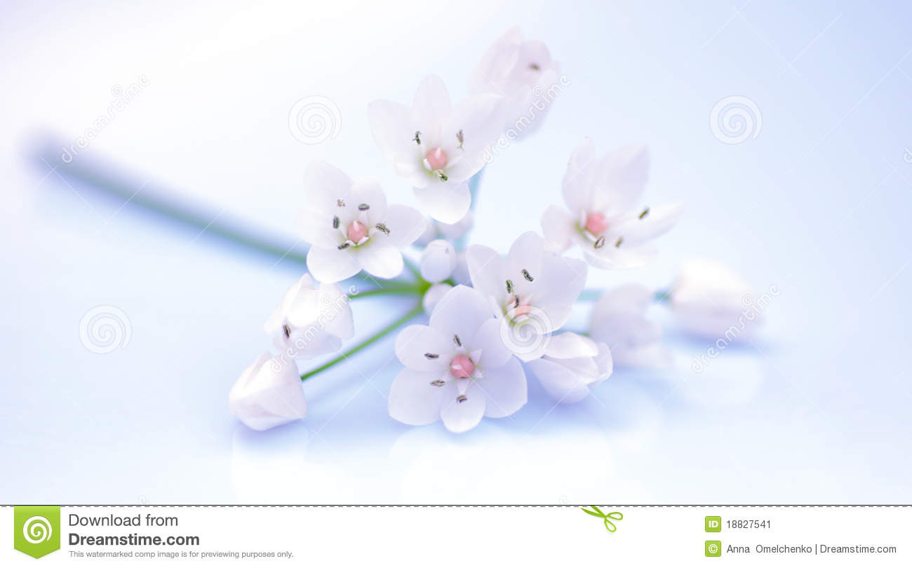 Fresh Cherry Flowers Border Stock Photo Image Of Dreamy Blooming