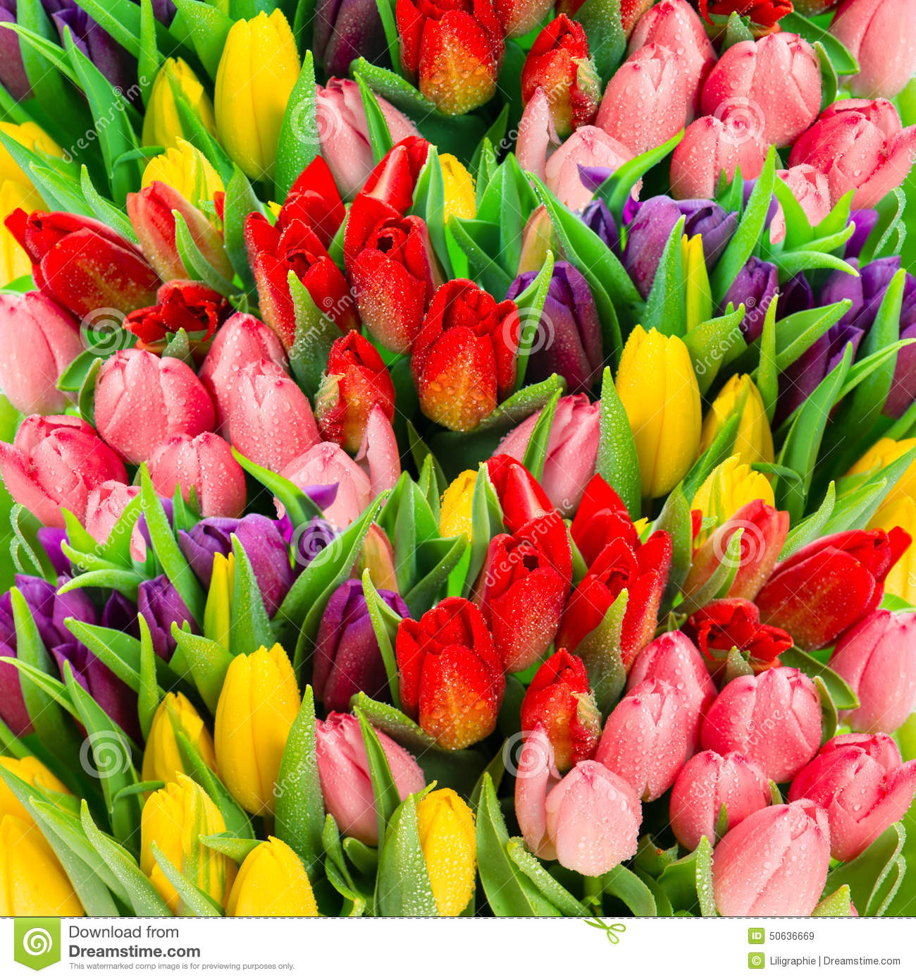 Fresh Spring Tulip Flowers With Water Drops. Vibrant Colors Stock ...