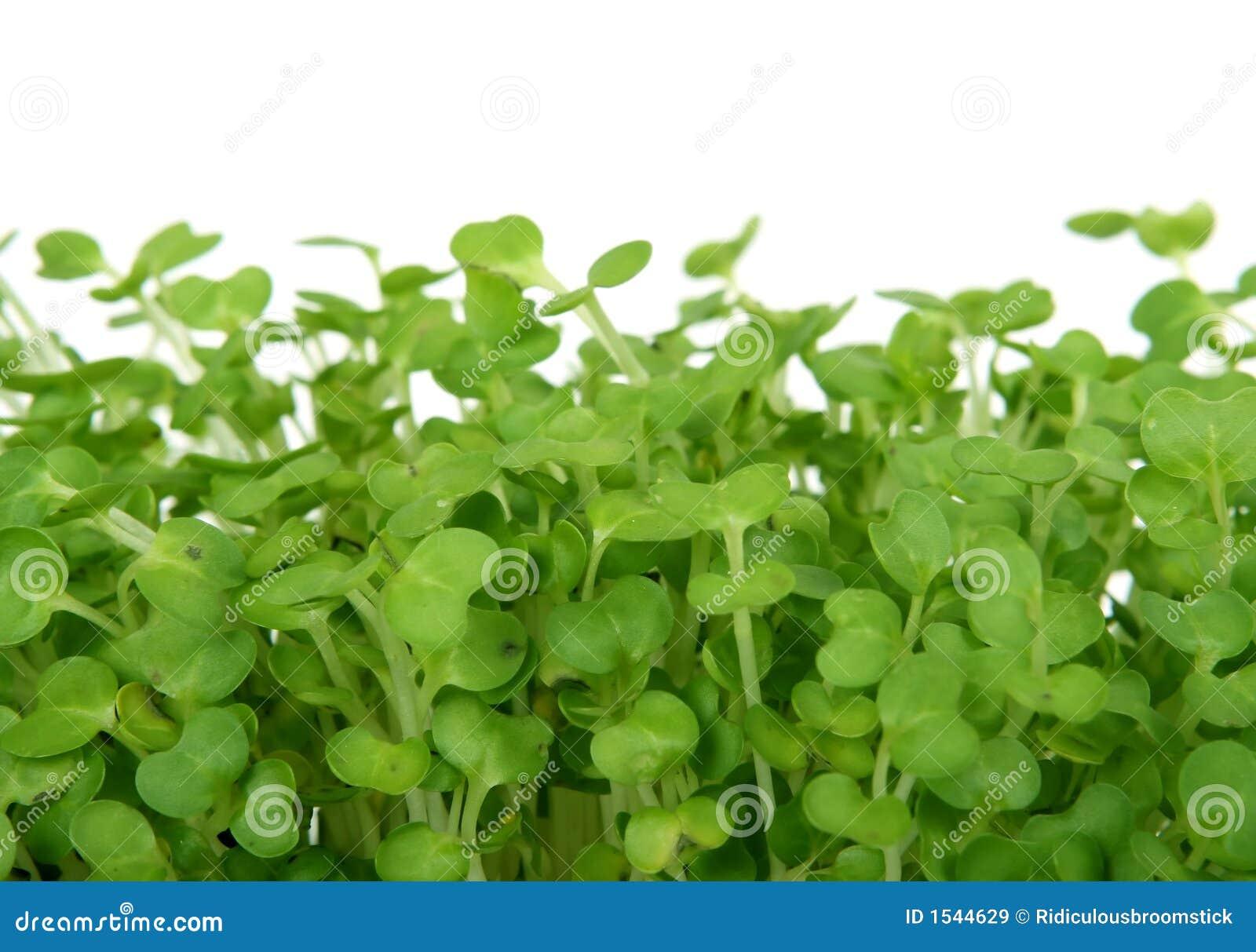 Fresh Summer Cress Healthy Salad Garnish Food Stock Image