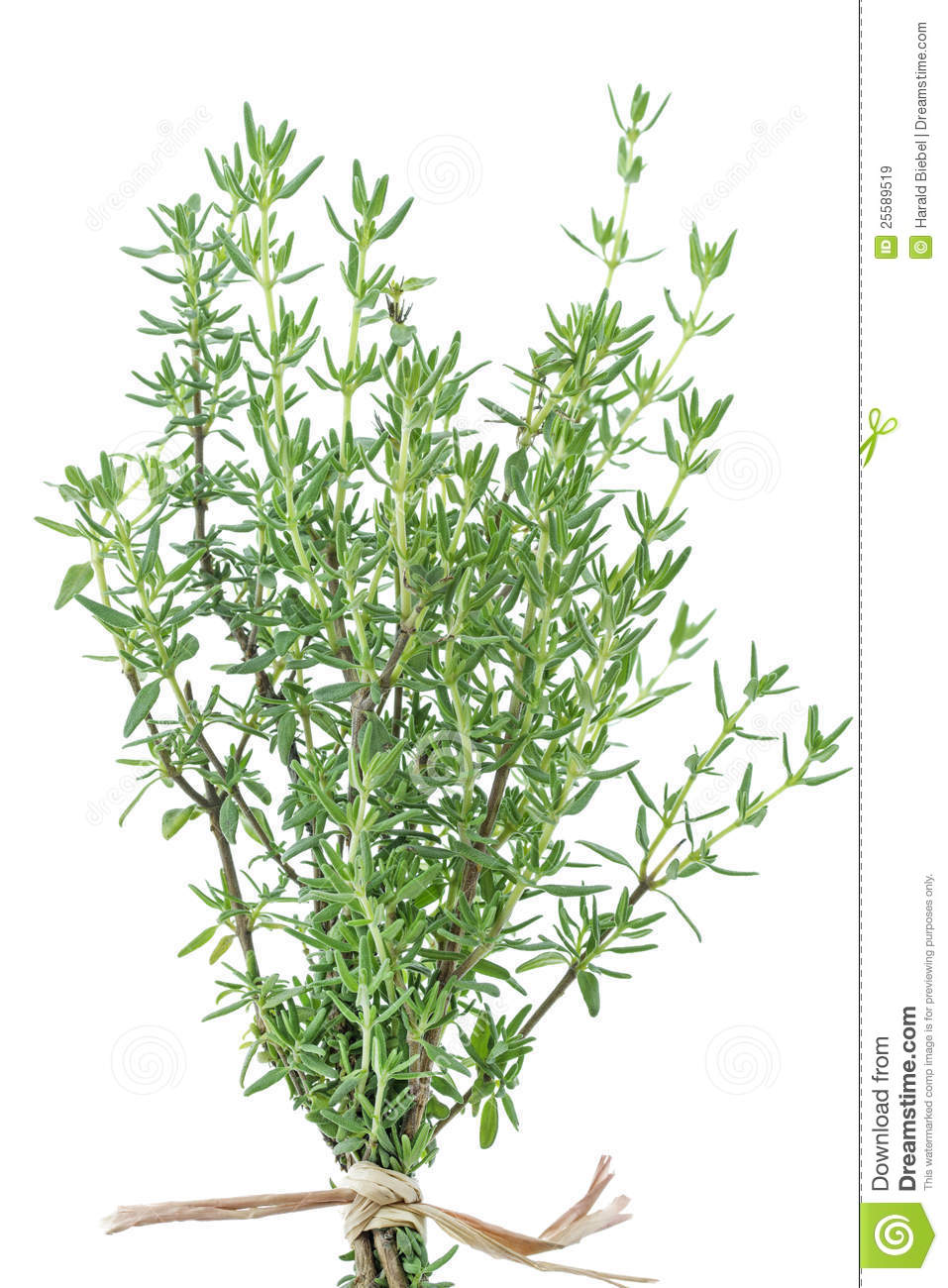 how to cut thyme from plant