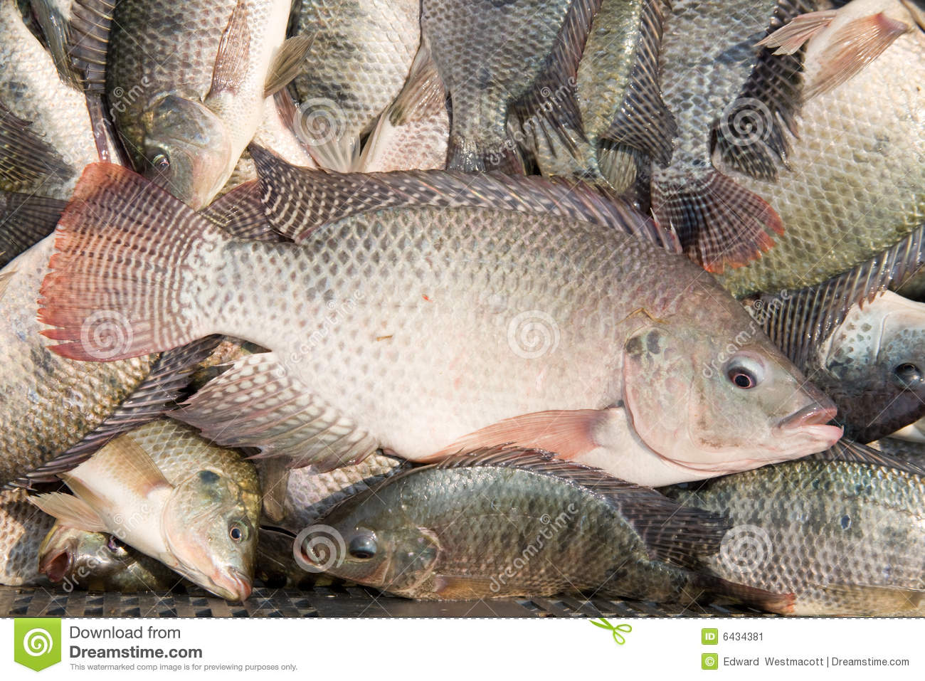 Fresh tilapia fish stock image image of large kinds for What is tilapia fish