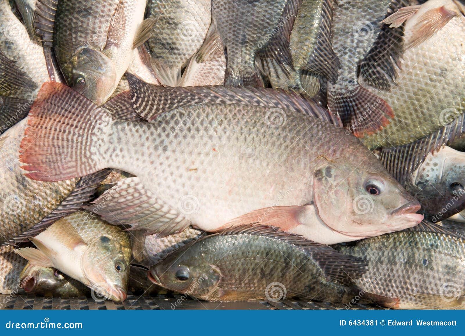 how to cook fresh tilapia fish