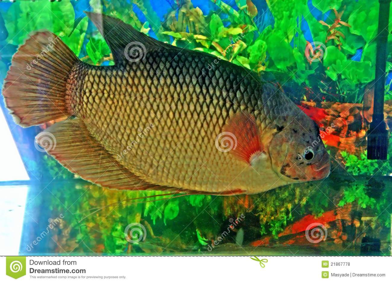 Fresh water fish royalty free stock photos image 21867778 for Sweet water fish