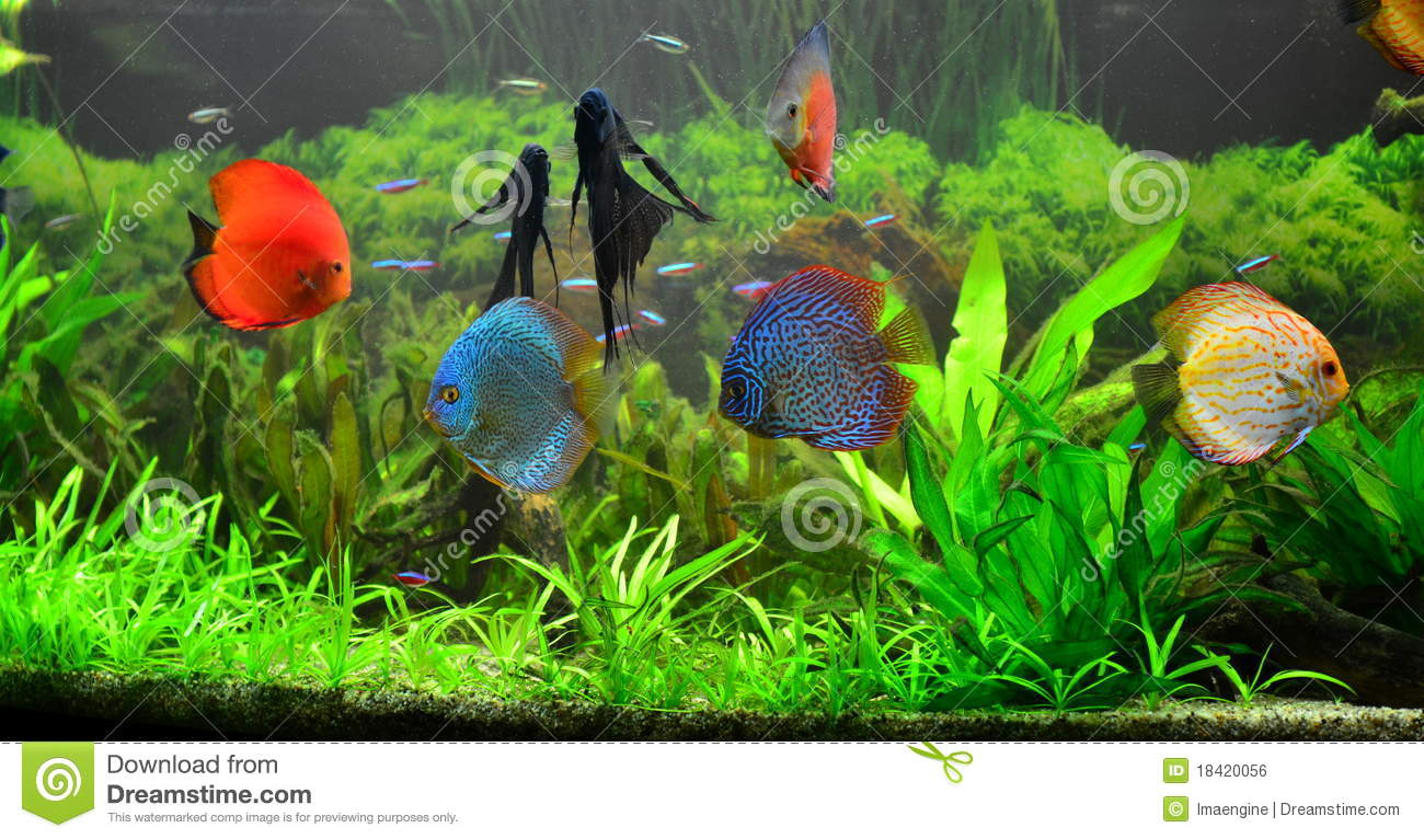 Fresh Water Home Aquarium With Discus Fish Royalty Free Stock Image ...