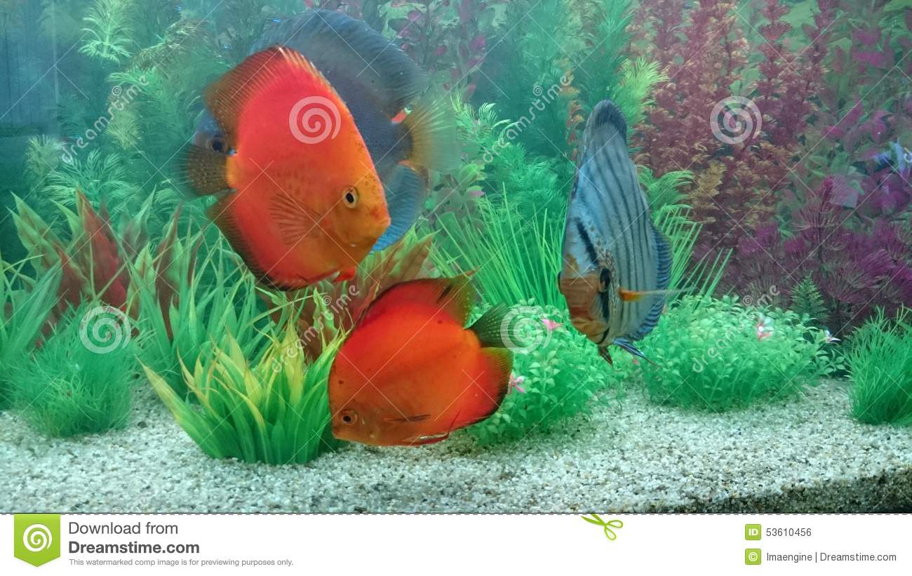 Fresh Water Home Aquarium With Discus Fish Stock Photo Image Of