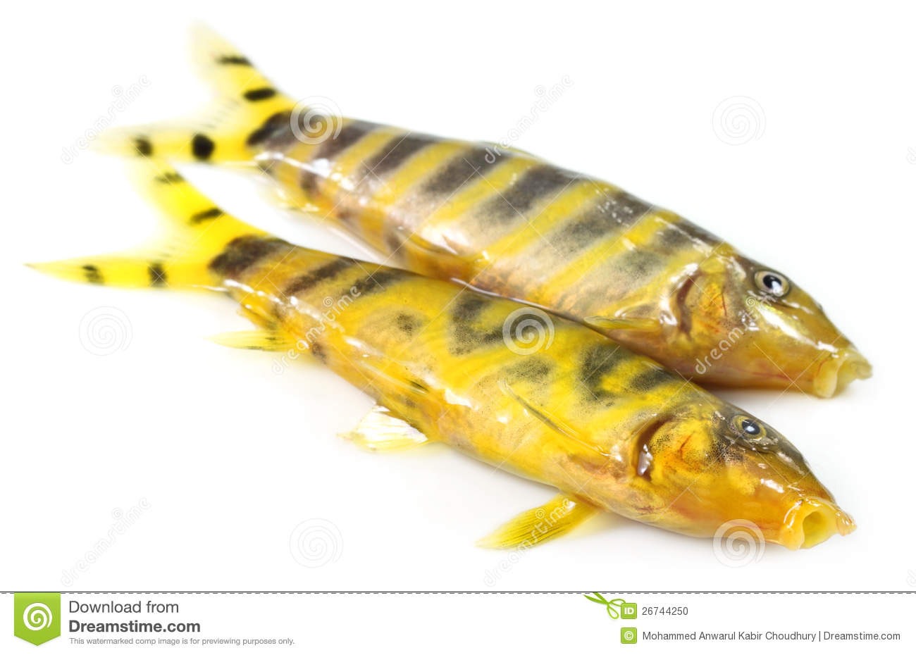 Zebra fish swim gracefully royalty free stock photography for Sweet water fish