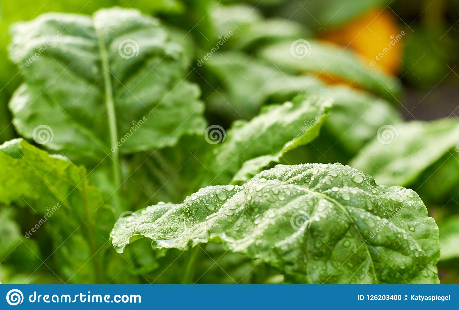 Fresh wet leaves of green beet plant and pumpkin on bed at background,