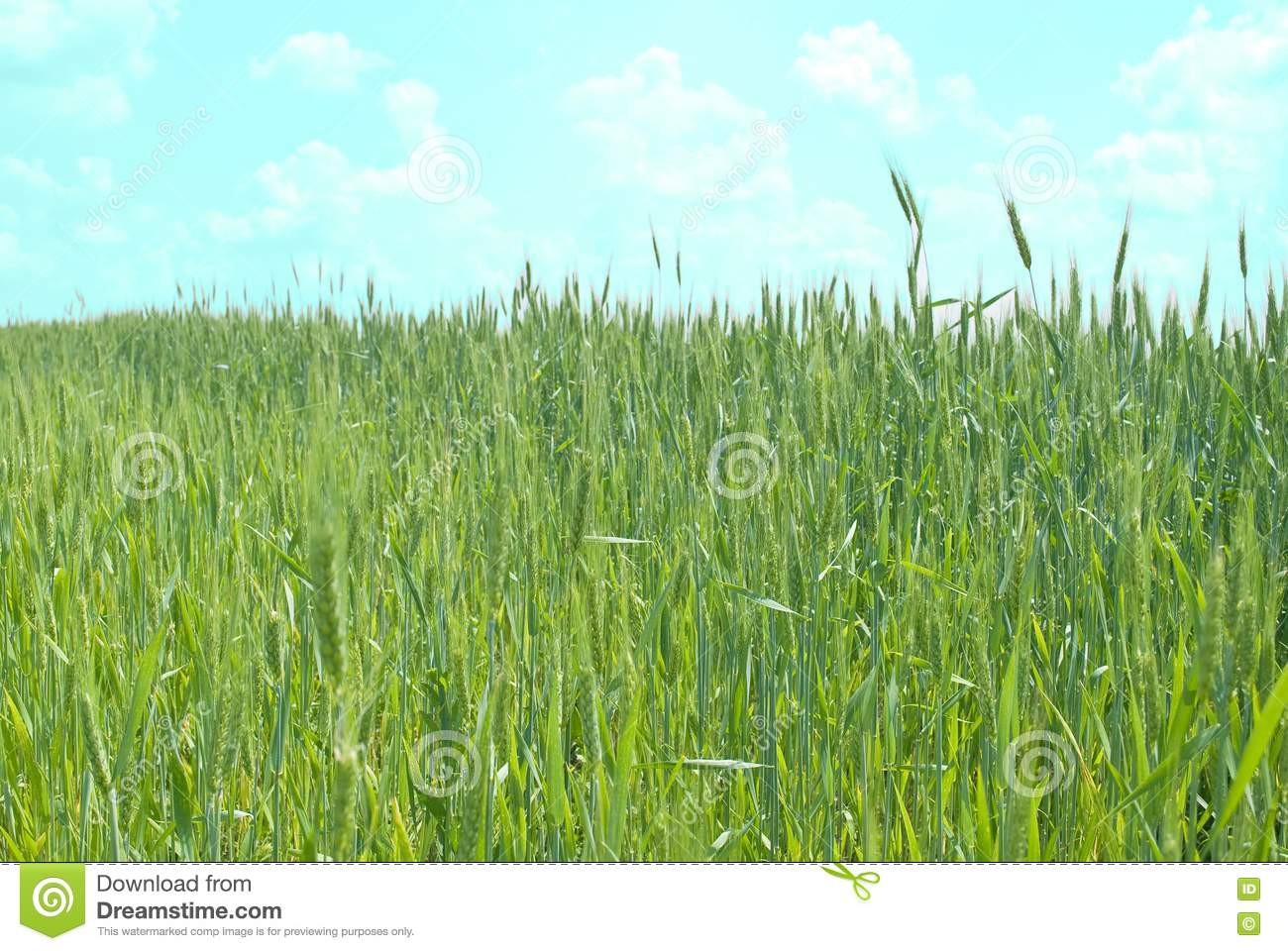 wheat field fresh and -#main
