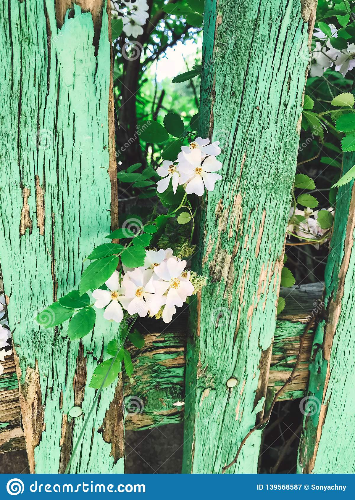 Fresh white flowers and green leaves on old wooden fence,clematis, jasmine or wild rose bush. Beautiful tender shrub with flowers