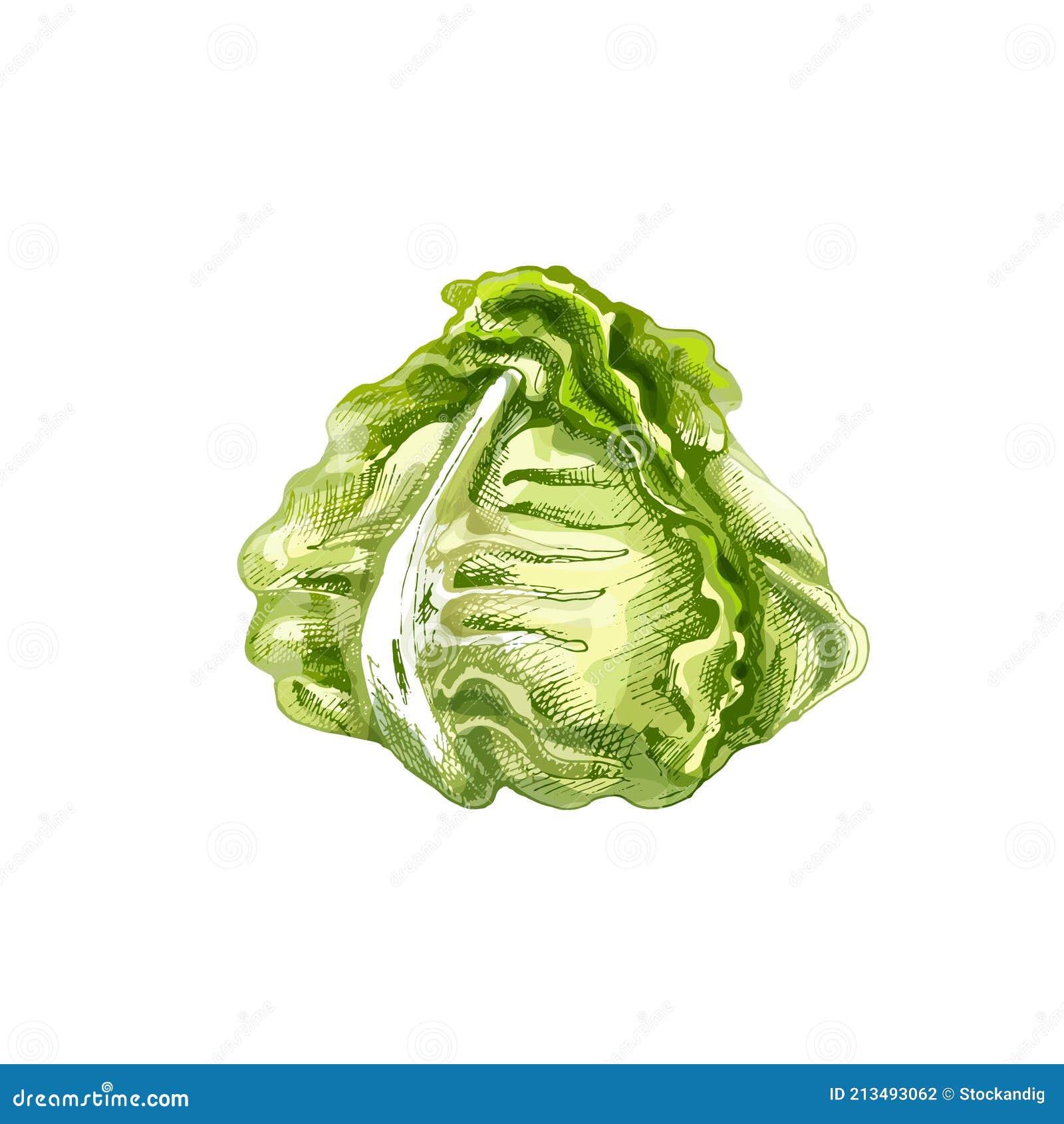 head lettuce stock illustrations – 731 head lettuce stock illustrations,  vectors & clipart - dreamstime  dreamstime.com