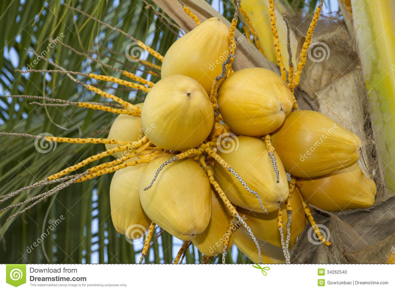 fresh yellow coconut stock photo
