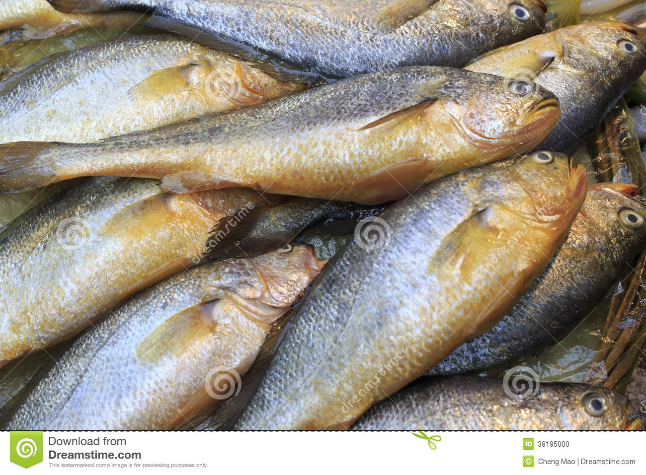 Fresh yellow croaker fish stock photo image of ocean for What is a croaker fish