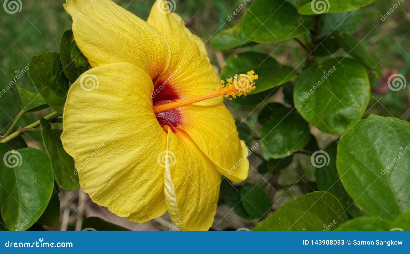 Fresh Yellow Hibiscus Flower Backgroundyellow Pollenon Green