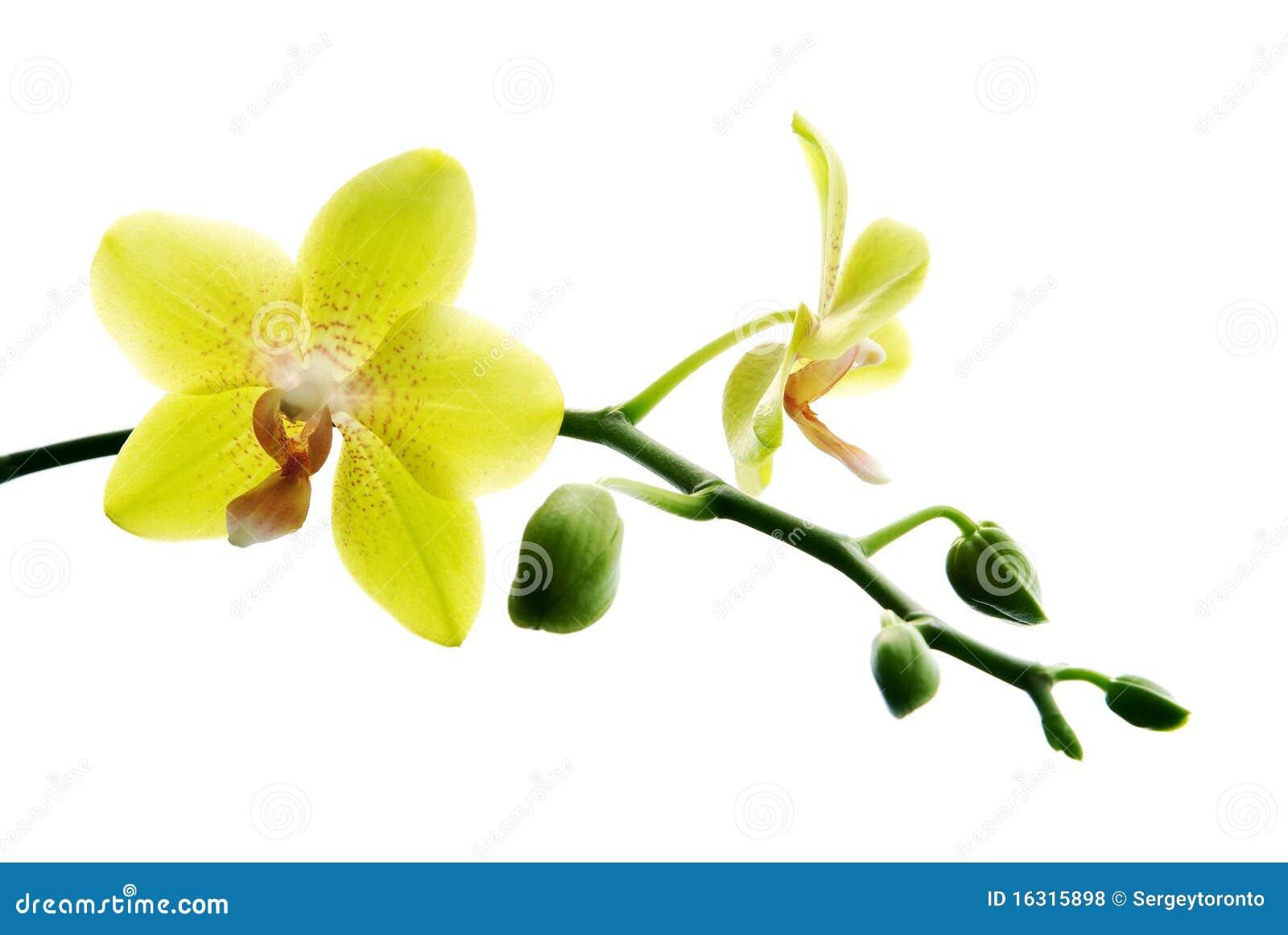 Orchid Cymbidium White Fresh Yellow Orchids R...