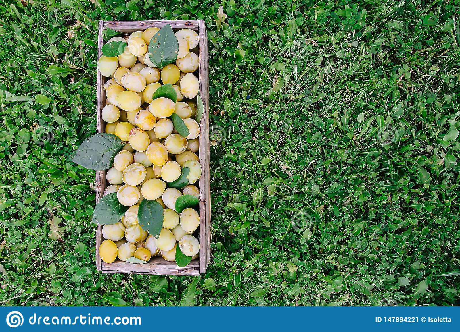 Fresh yellow plums. Ripe fruits in a wooden box on grass