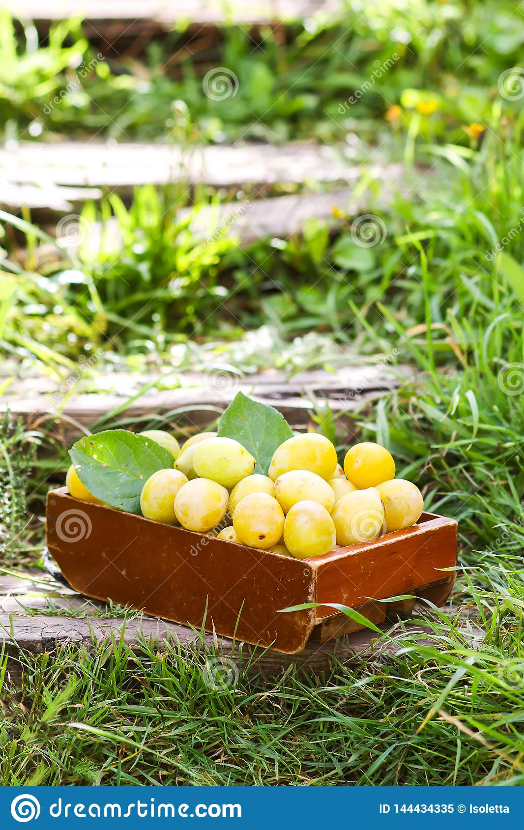 Fresh yellow plums. Ripe fruits in a wooden box on green summer grass