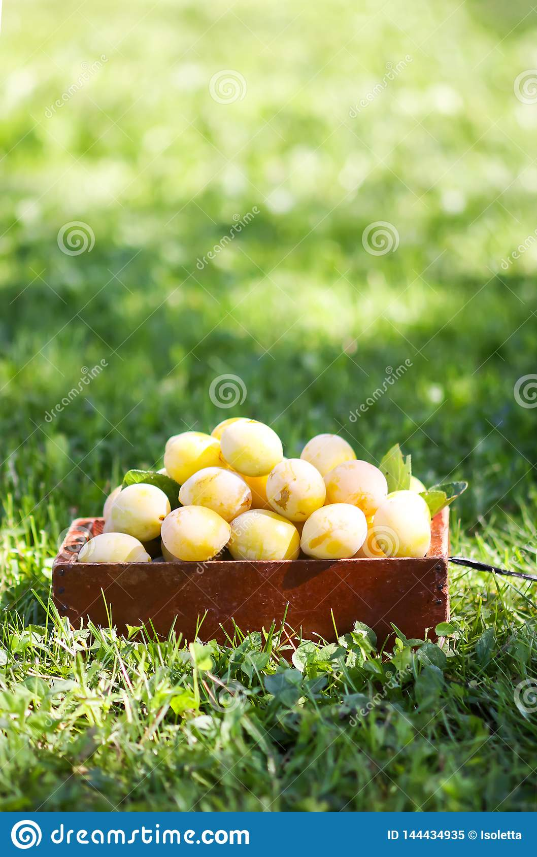 Fresh yellow plums. Ripe fruits in a wooden box on green summer grass in a garden