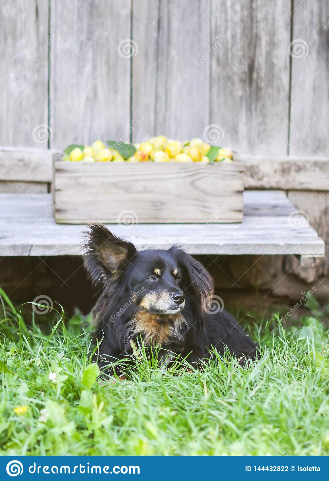 Fresh yellow plums. Ripe fruits in a wooden box on rough boards background. A black dog guards the harvest