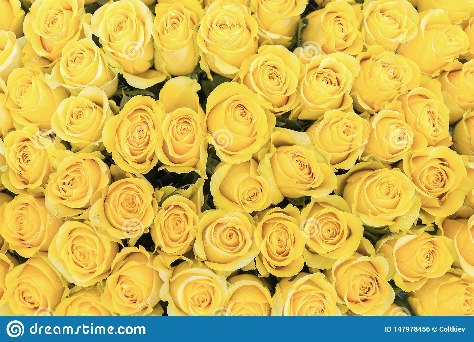 55 812 Yellow Roses Background Photos Free Royalty Free Stock Photos From Dreamstime