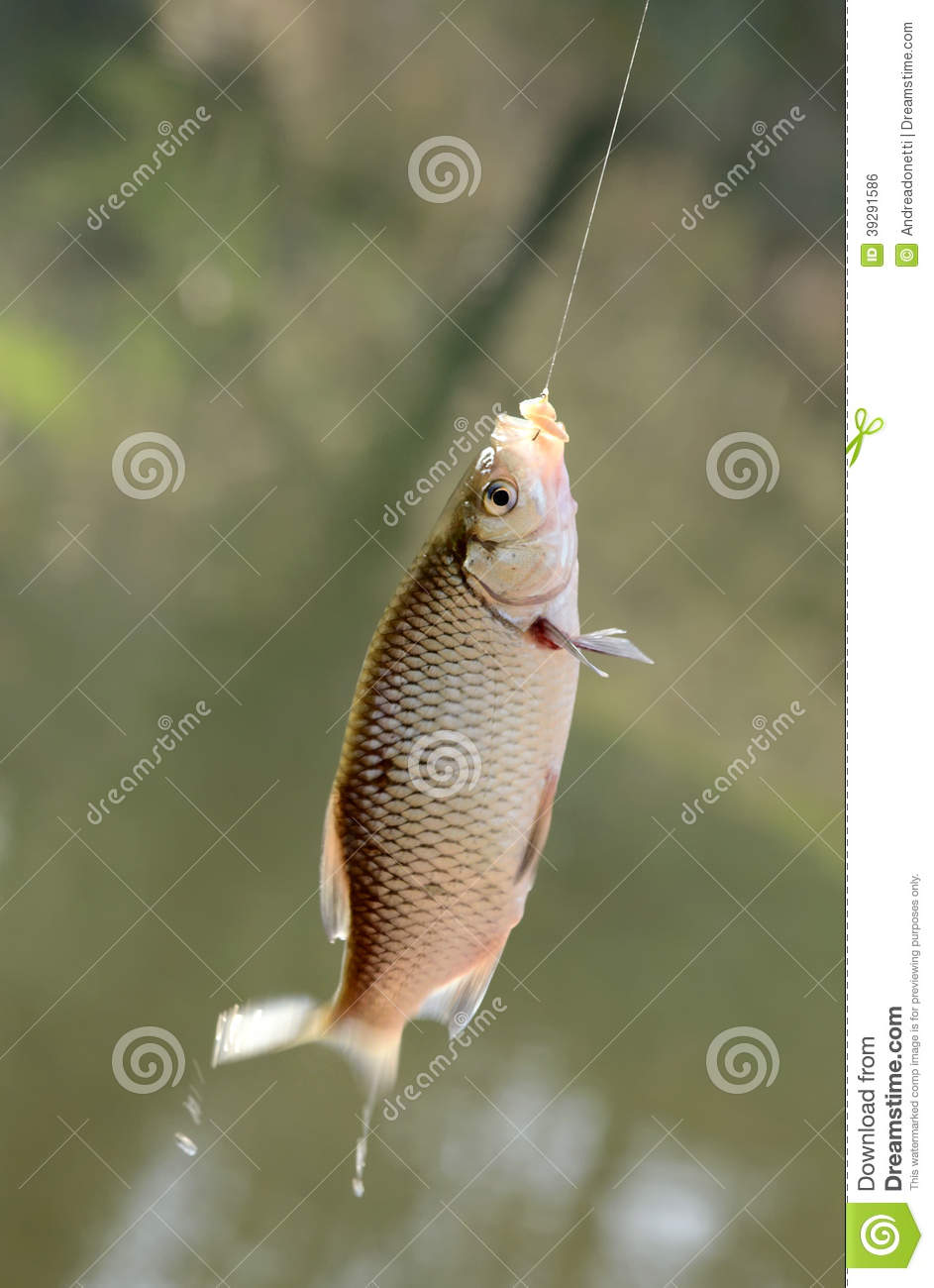Freshly caught fish on a hook and fishing line stock photo for Take me fishing org