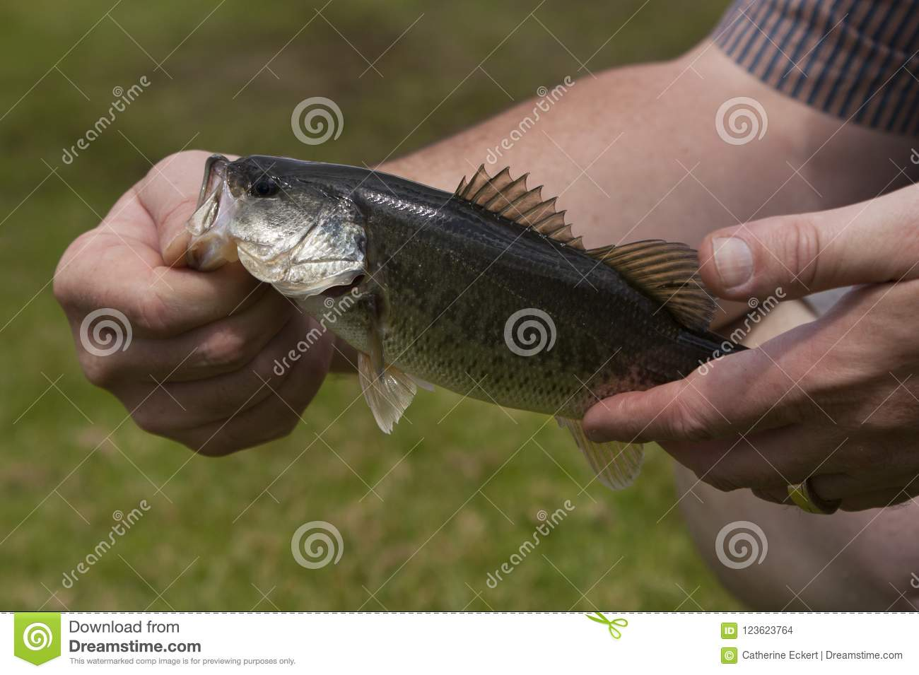 A freshly caught large mouth bass