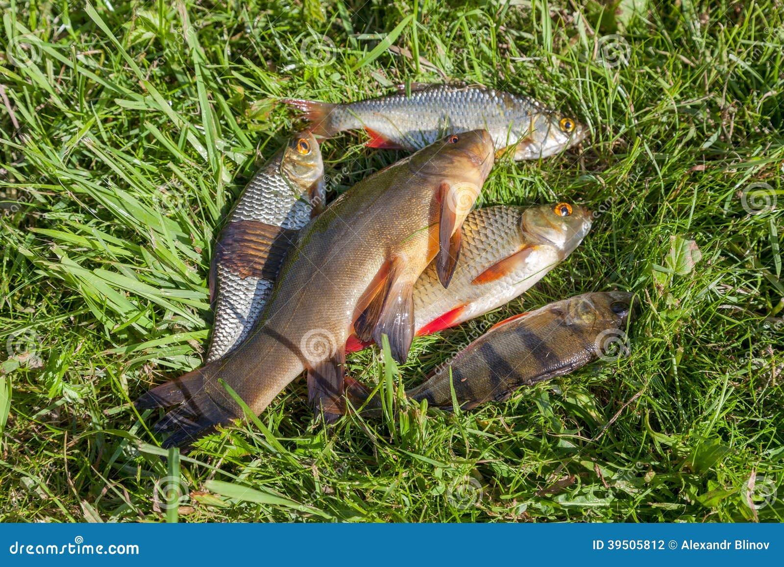 Freshly caught river fish