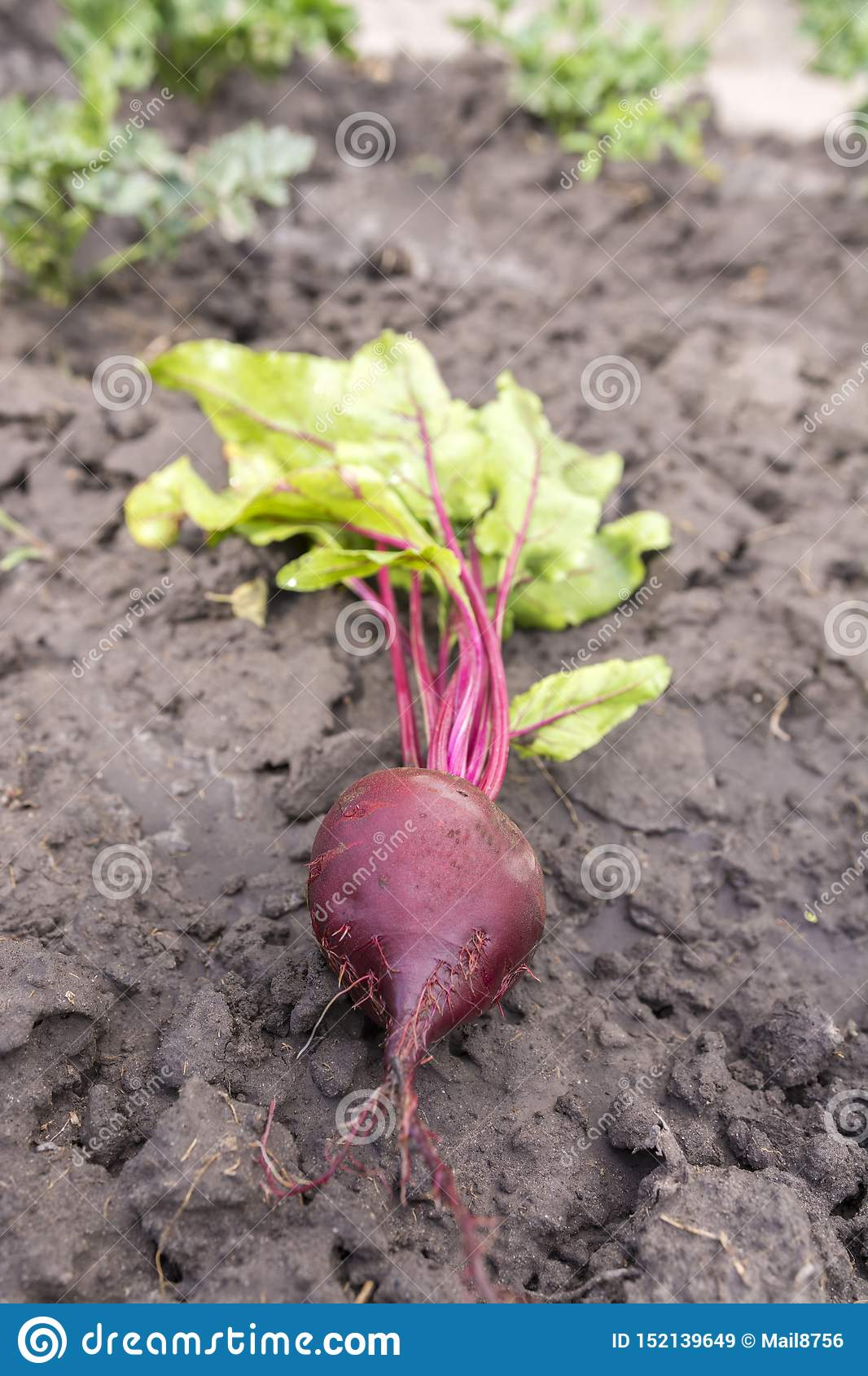 Freshly dug from the beds of beets on the ground