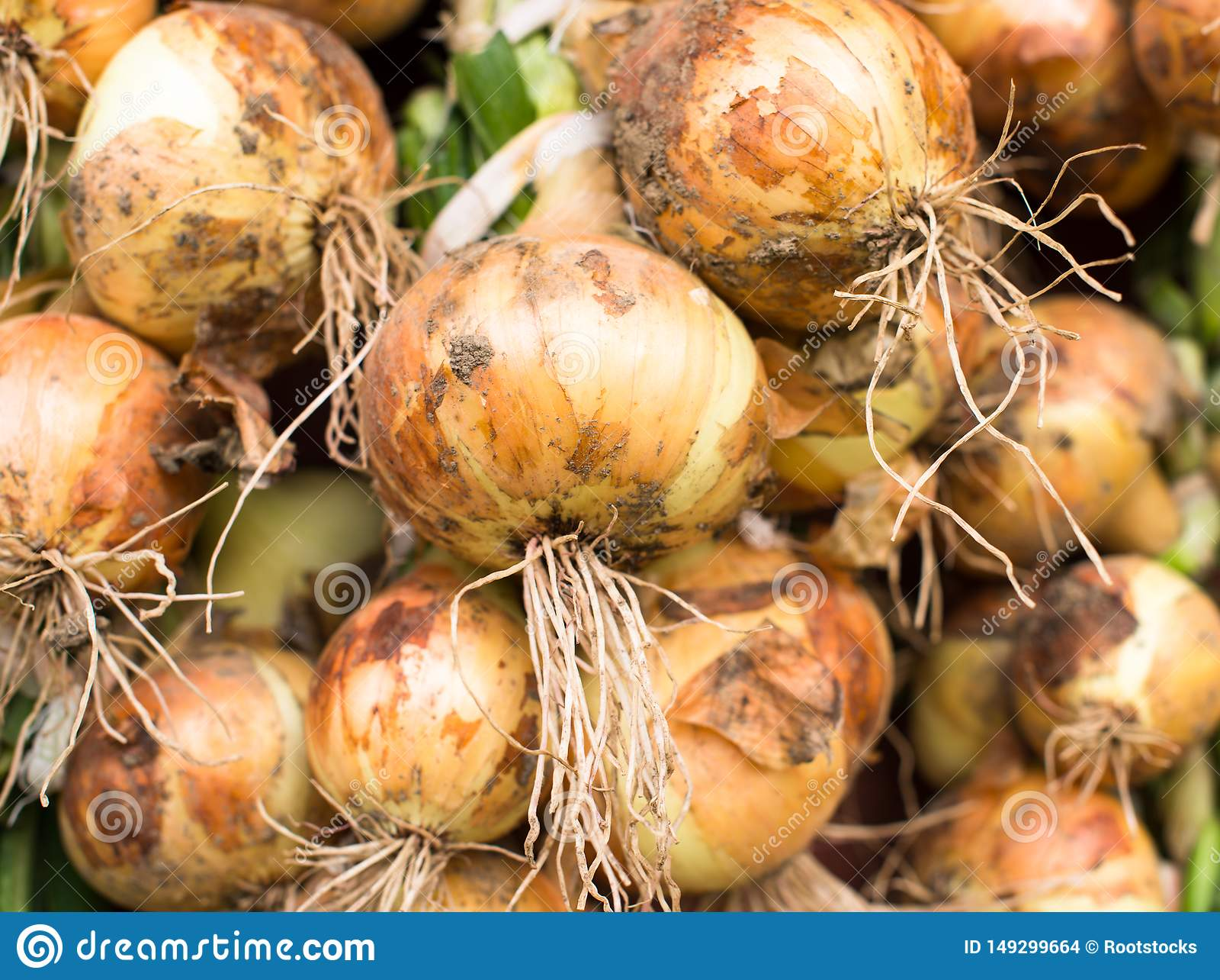 Freshly dug onion bulbs