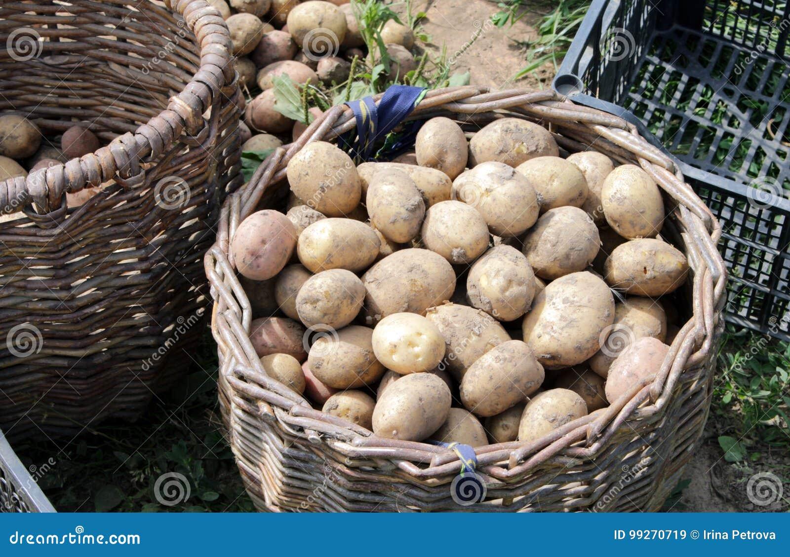 Freshly dug potatoes into a basket