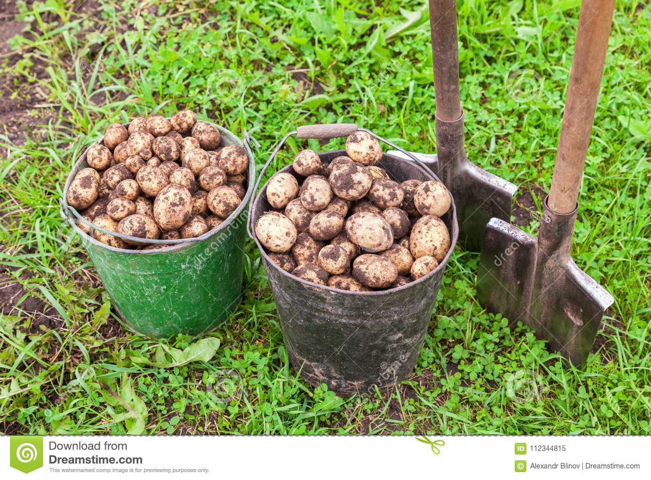 Freshly dug potatoes in metal buckets and shovels