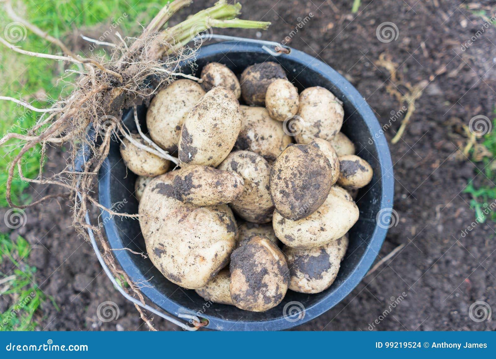 Freshly dug up potatoes