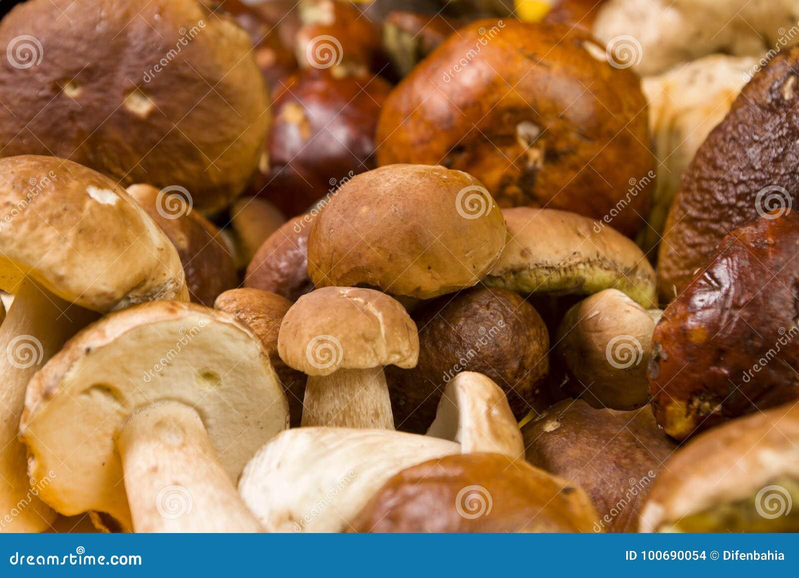 Freshly harvested Boletus mushrooms background
