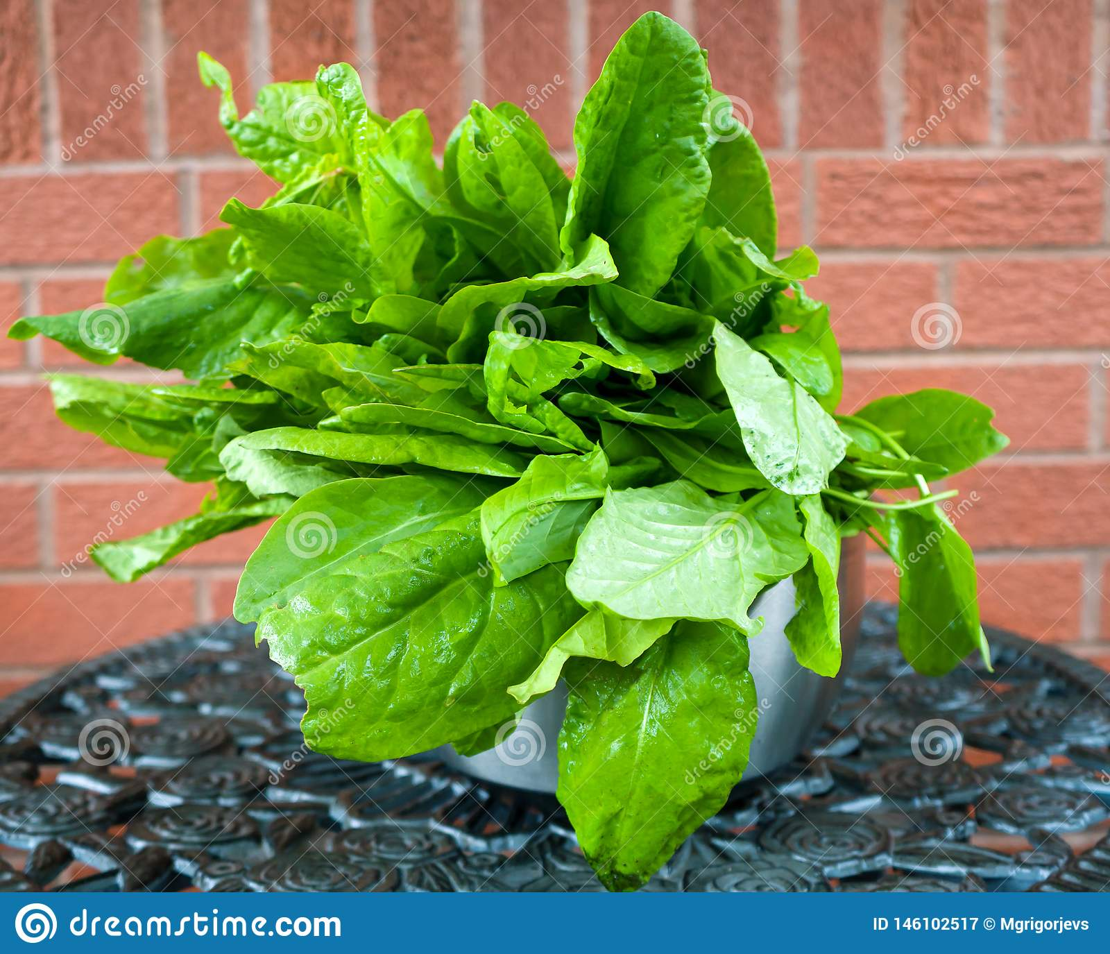 Freshly picked green sorrel leaves with water drops in a metal bowl