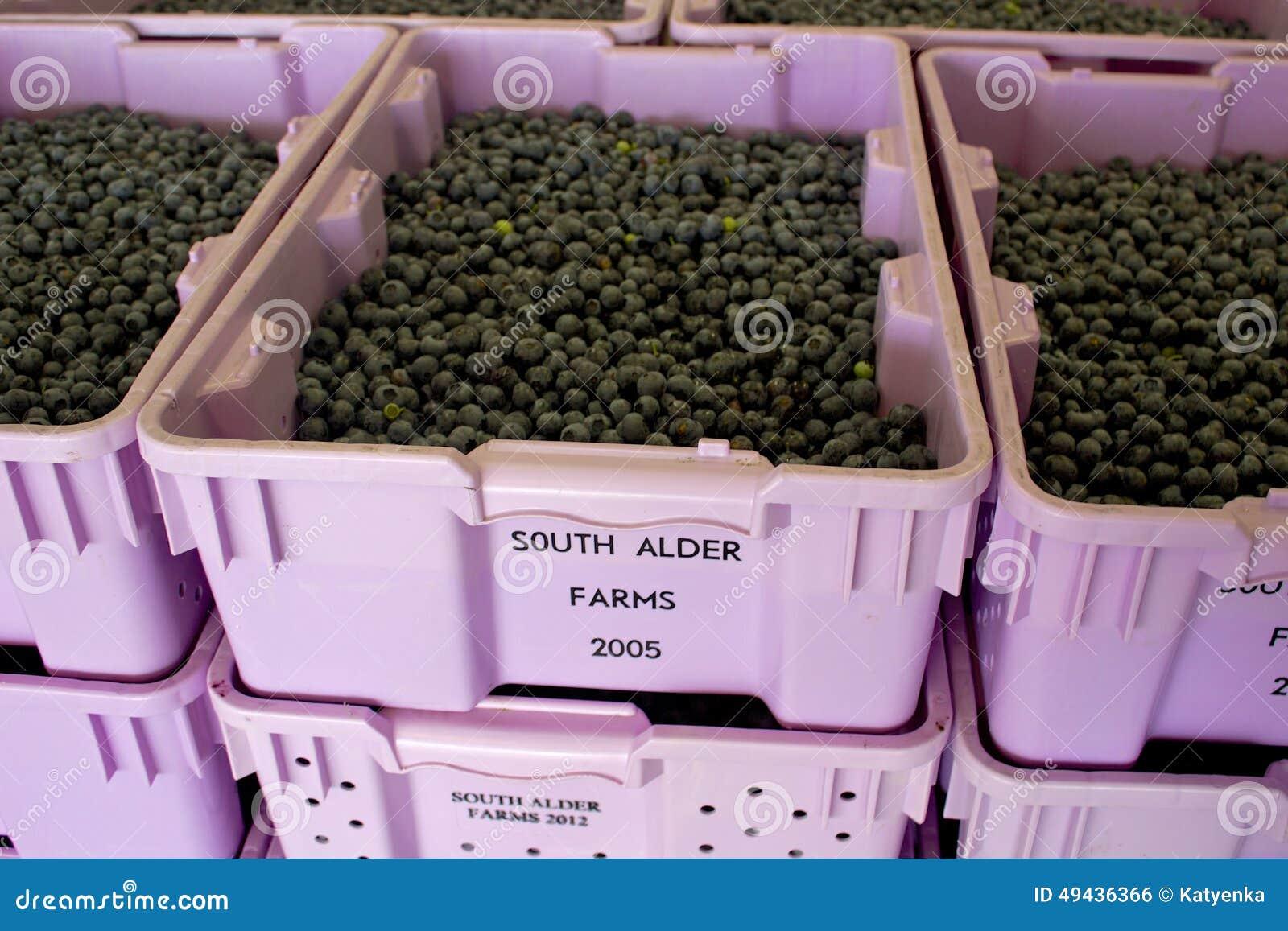 Freshly picked high-bush blueberries ready for sorting