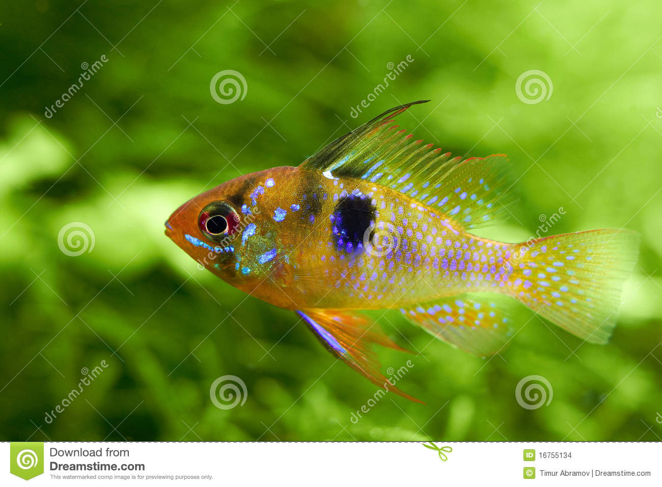 ... ramirezi called a butterfly-fish in a nature aquarium in Amano style