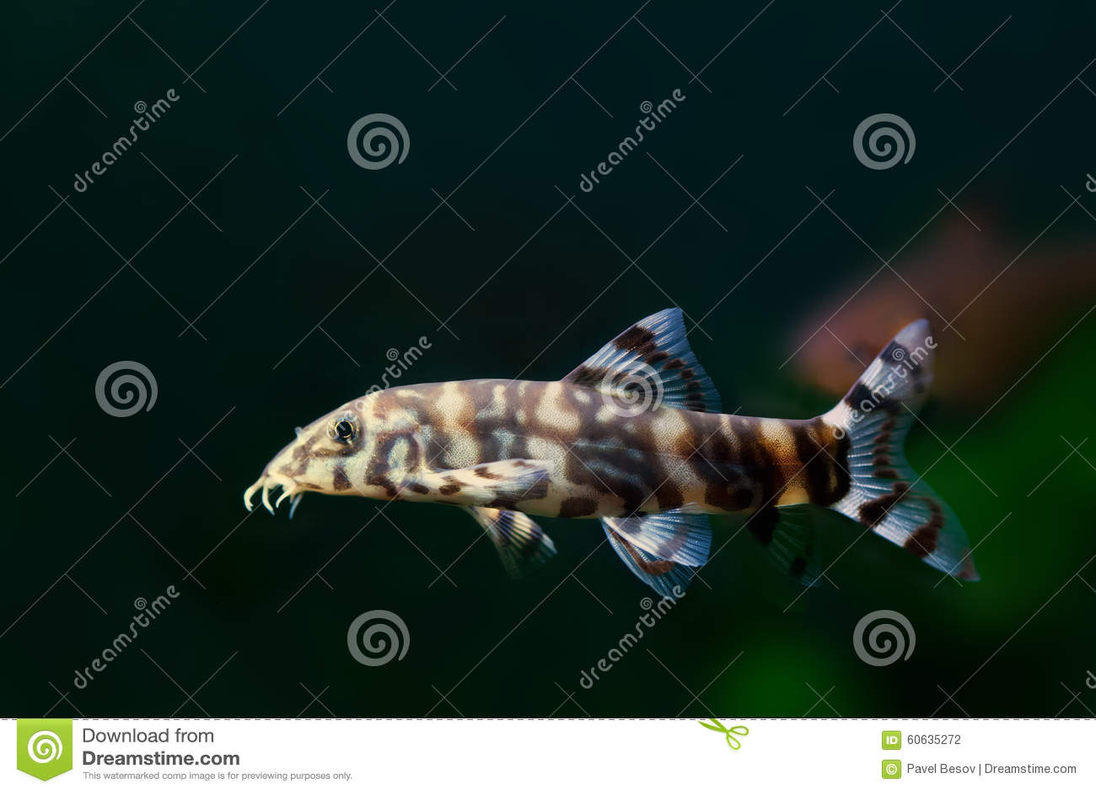 Botia histrionica macro view swimming striped zebra fish for Eau douce aquarium