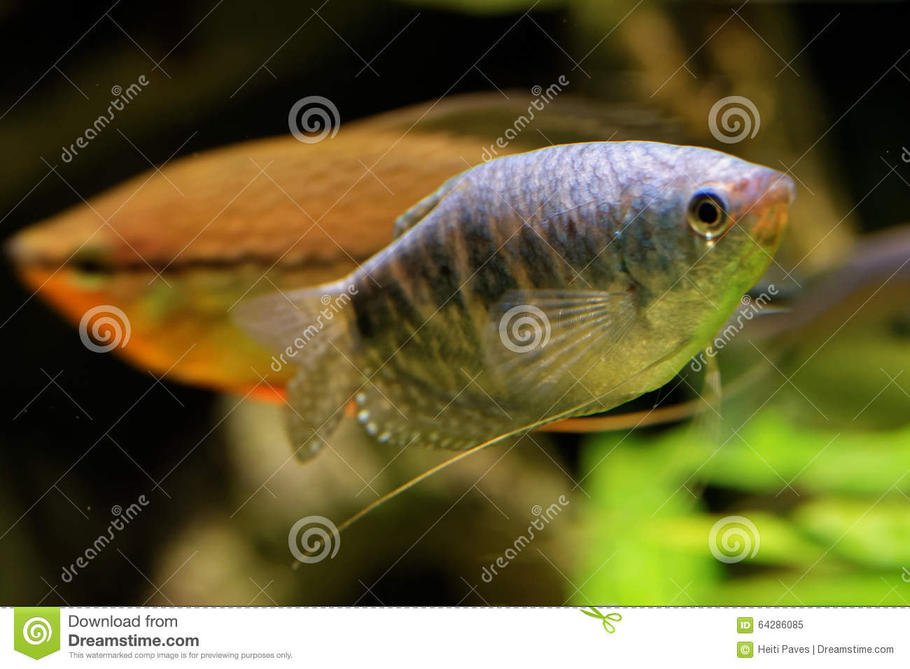 Freshwater butterflyfish stock photo image 64286085 for Freshwater butterfly fish